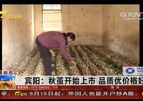 宾阳县:秋茧开始上市 品质优价格好