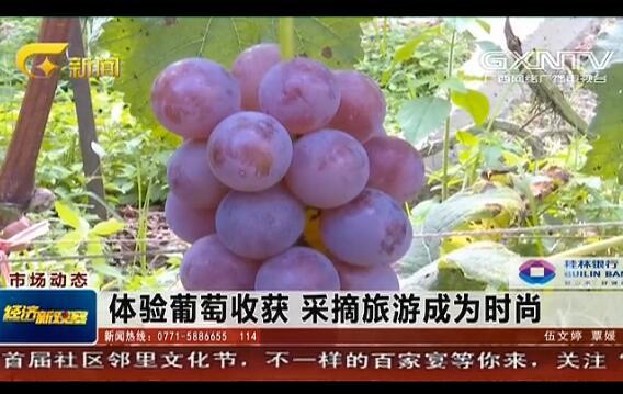 体验葡萄收获 采摘旅游成为时尚