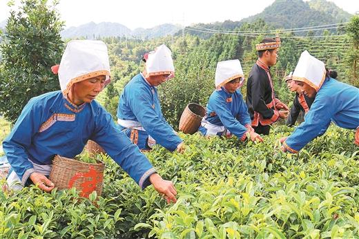"""金秀县:写好""""茶""""文章 喜迎丰收节"""