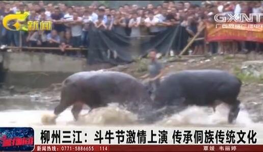 三江:斗牛节激情上演 传承侗族传统文化