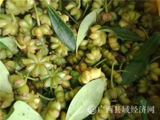 宁明县:科学养护八角助果农增收
