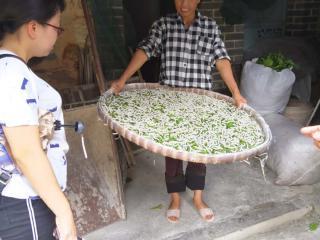 浦北县:承接东桑西移项目 加速蚕桑产业发展