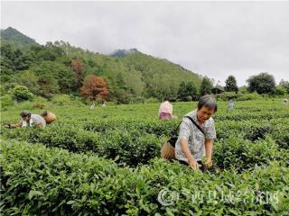 昭平县:万名茶农抢采秋茶 茶叶产业助农增收致富