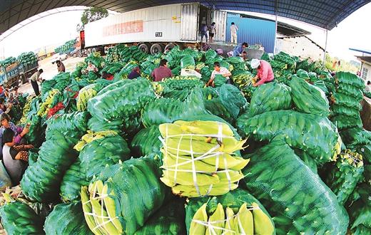 """横县:看""""中国甜玉米之乡""""的产业经 从按吨卖到论个卖"""