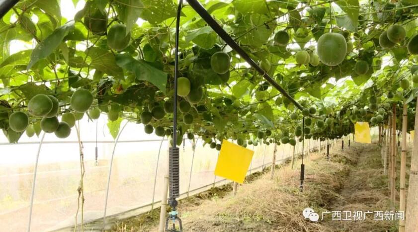 广西:创建特色农产品优势区 促农业增效助乡村振兴