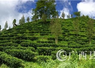 广西八桂凌云茶业有限公司----茶园风光