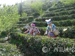 广西八桂凌云茶业有限公司----采茶手艺