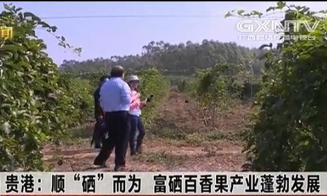 """贵港:顺""""硒""""而为 富硒百香果产业蓬勃发展"""