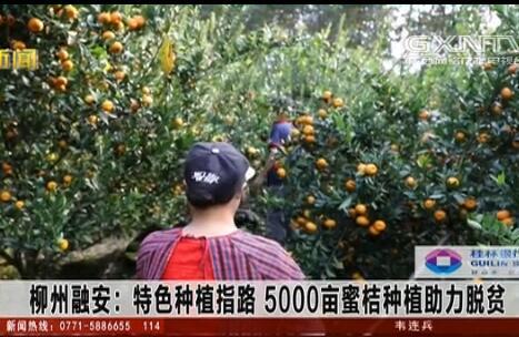 融安县:特色种植指路 5000亩蜜桔种植助力脱贫