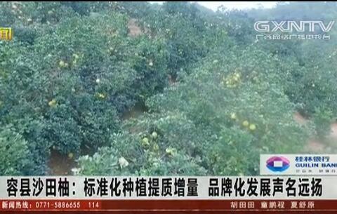 容县:沙田柚标准化种植提质增量