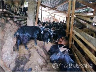 乐业县姚云仲:同乐镇龙洋村的养羊致富能手