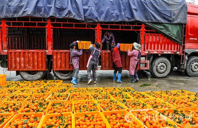 东兰县:无公害水果喜获丰收