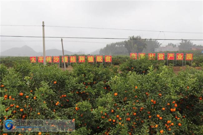 平果县壮烈村1400多亩沙糖桔喜获丰收 成了村民脱贫致富果