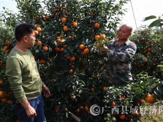 江州区:柑橘丰收农民乐