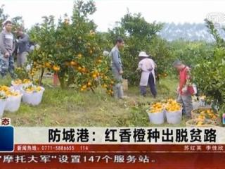 防城港:红香橙种出脱贫路