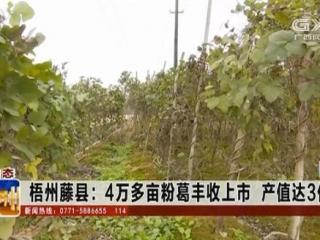 藤县:4万多亩粉葛丰收上市 产值达3亿多元