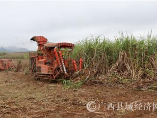 江州区濑湍镇:节后砍运甘蔗工作繁忙