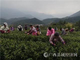 昭平县:春茶开采 茶农忙