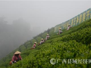 """昭平县:茶乡赛""""茶王"""""""