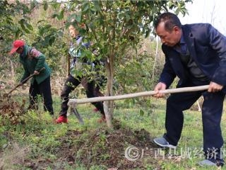 南丹县:加强春季管护 壮大油茶产业