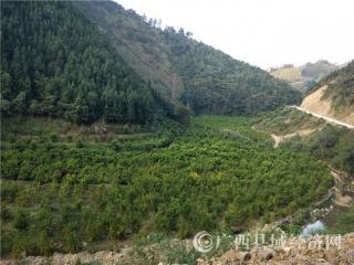 乐业县百龙村:被水果改变的村庄