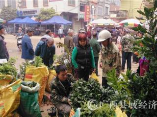 江州区濑湍镇:群众抢购果苗种果忙