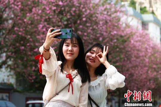柳州27万株紫荆花绽放 民众花下畅游