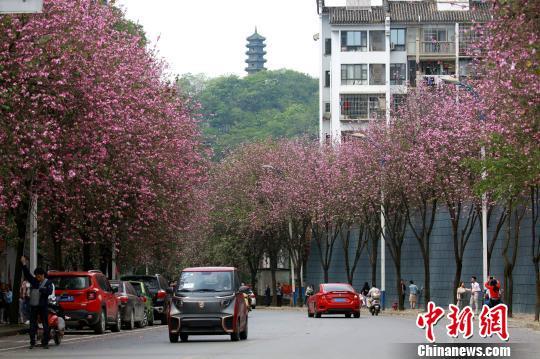 """粉色的花朵挂满枝头,道路如施""""粉黛""""。 朱柳融 摄"""