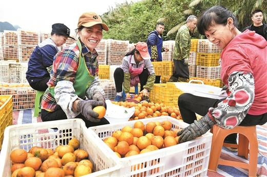 德保县:打造万亩柑橘扶贫产业示范区