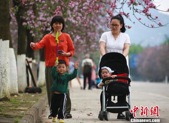 人们在紫荆花树下走过。 朱柳融 摄