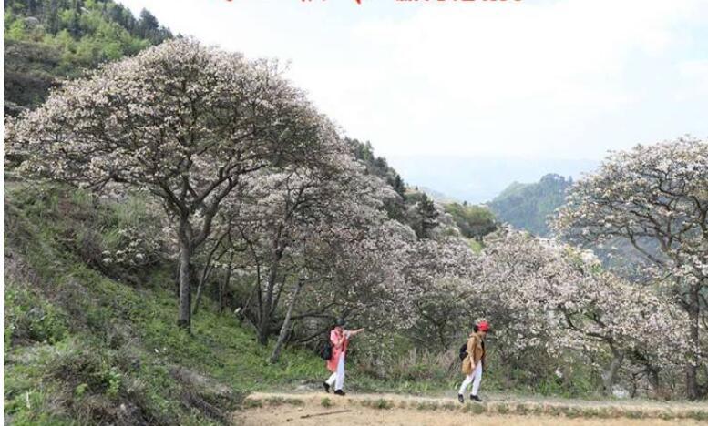 天峨县:2019年三堡桐花节开幕