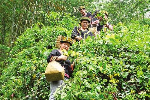 上林县:龙贵村闯出金银花产业振兴之路