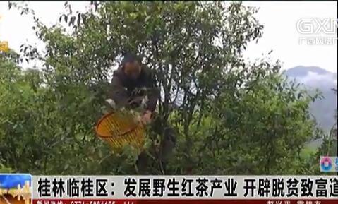 临桂区:发展野生红茶产业 开辟脱贫致富道路