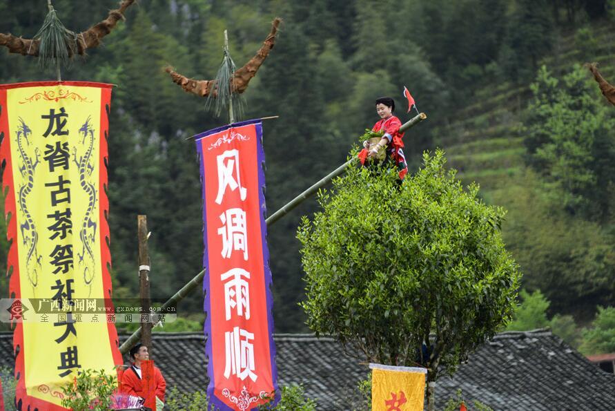 """龙胜县:举办古树茶文化节 展示""""飞天采茶"""""""