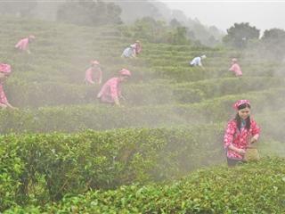 桂平市:小茶叶 致富大产业