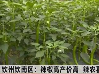 钦南区:辣椒高产价高 辣农喜笑颜开