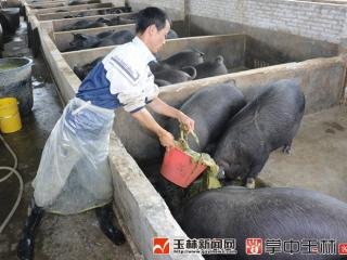 容县:牧草养猪闯新路