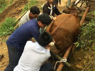 金秀县:驻村第一书记急救母牛 解群众燃眉之急