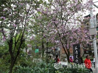 蒙山县洋紫荆花盛开
