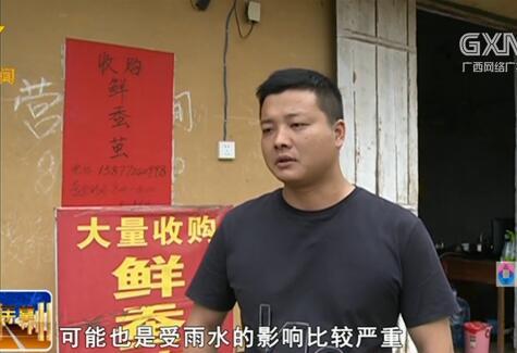 鹿寨县:首批蚕茧陆续上市 收购价格每公斤36元