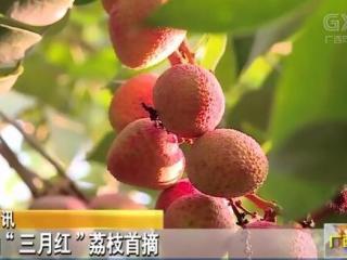 """灵山县:""""三月红""""荔枝首摘"""