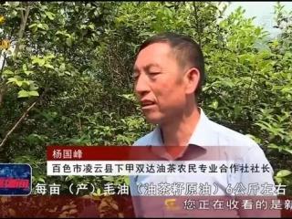 凌云县:发展油茶产业 助力脱贫攻坚