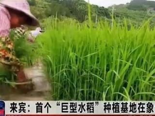 """来宾:首个""""巨型水稻""""种植基地在象州试种"""