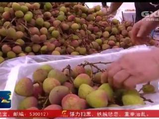 灵山县:荔枝熟了 喊你来摘荔枝啦!