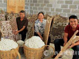 凌云县:2018年种桑养蚕产值2.14亿元