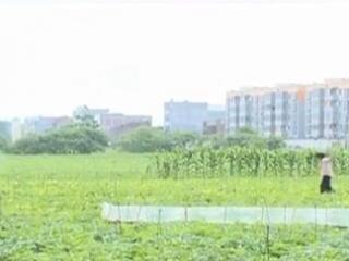 宾阳县:香瓜上市 畅销区外促农增收