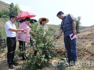 平果县政协组织委员对油茶产业发展情况进行调研