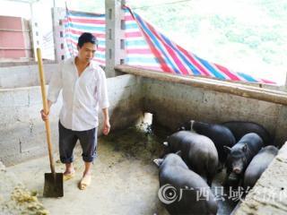 """凌云县逻楼镇布林村李华志:村里养好""""致富猪"""""""