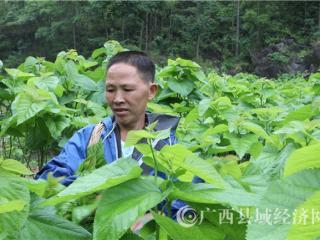 """凌云县张万传:摘掉""""穷帽子"""" 带动一方富"""