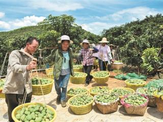 田东县:用芒果产业稳住农民收入